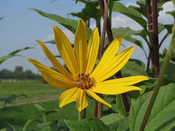 fleur de topinambour