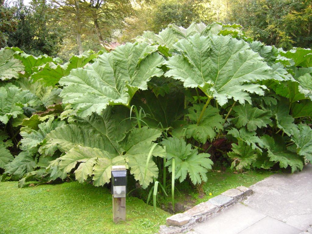 un plant de rhubarbe géante!
